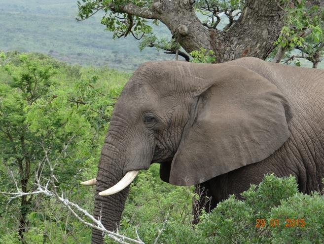 KwaZulu Natal safari tour from Durban; Bull Elephant at Hluhluwe Imfolozi game reserve