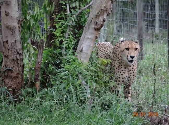 KwaZulu Natal safari tour from Durban; Cheetah on cat rehabilitation centre