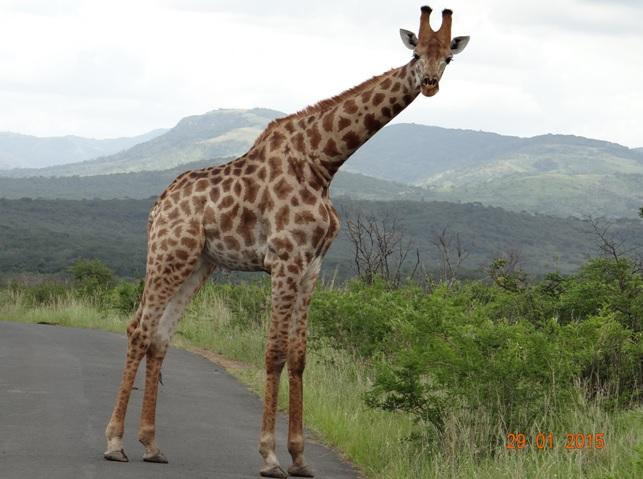 KwaZulu Natal safari tour from Durban; Giraffe on road at Hluhluwe Imfolozi game reserve