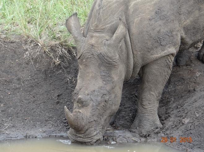 KwaZulu Natal safari tour from Durban; Rhino drinking at Hluhluwe Imfolozi game reserve