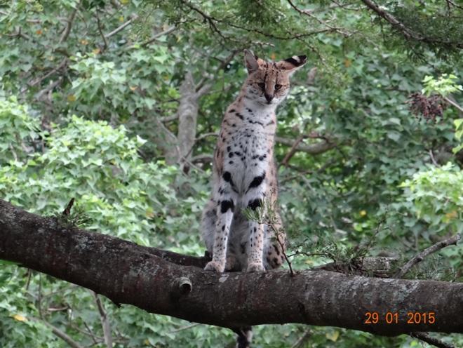 KwaZulu Natal safari tour from Durban; Serval at cat rehabilitation centre