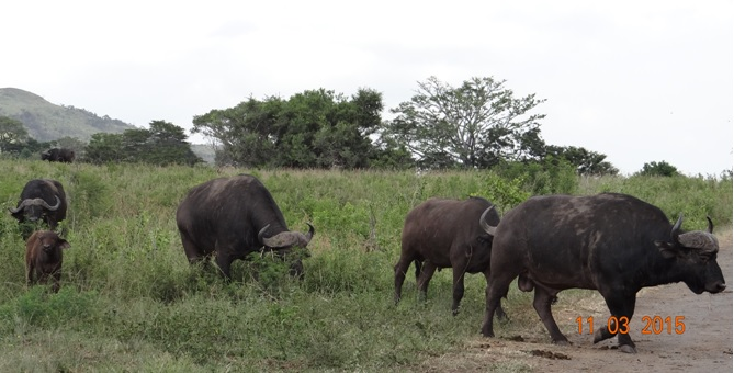 Durban 2 day safari; Cape Buffalo