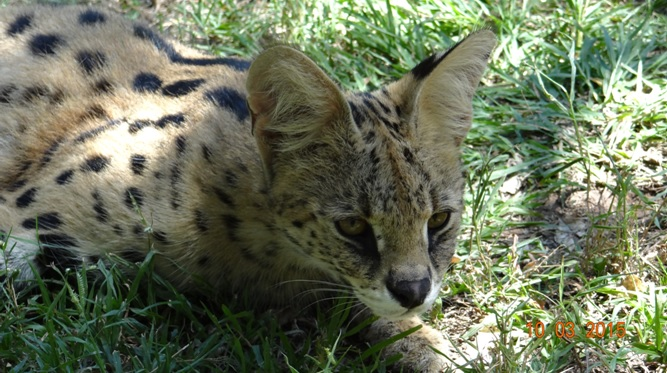 Durban 2 day safari; Serval