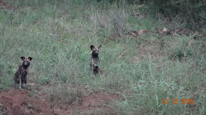 Durban 5 Day Tour; African Wild dogs