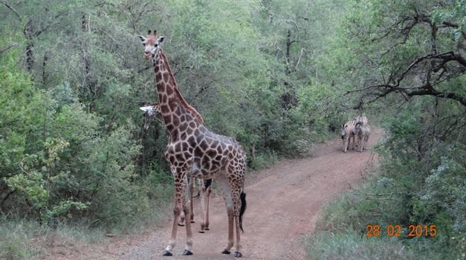 Durban 5 Day Tour; Giraffe and Zebra
