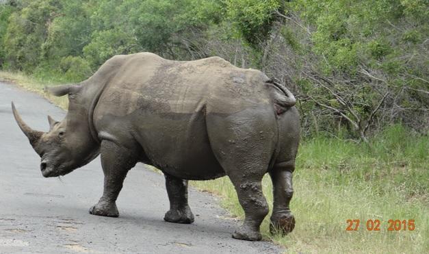 Durban 5 Day Tour; Rhino crossing road