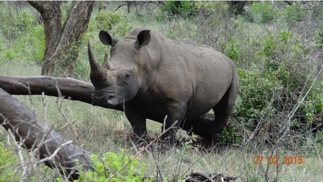 Durban 5 Day Tour; Rhino rubbing himself