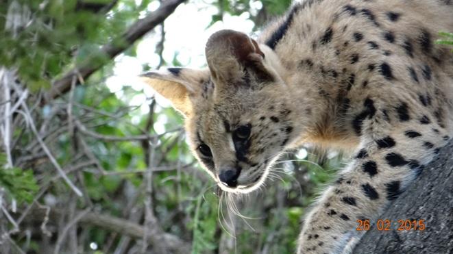 Durban 5 Day Tour; Serval in tree