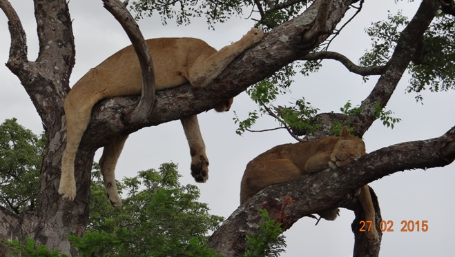 Durban 5 Day Tour; Tree climbing Lions of Hluhluwe picture two