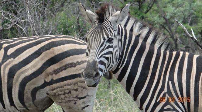 Durban 5 Day Tour; Zebra