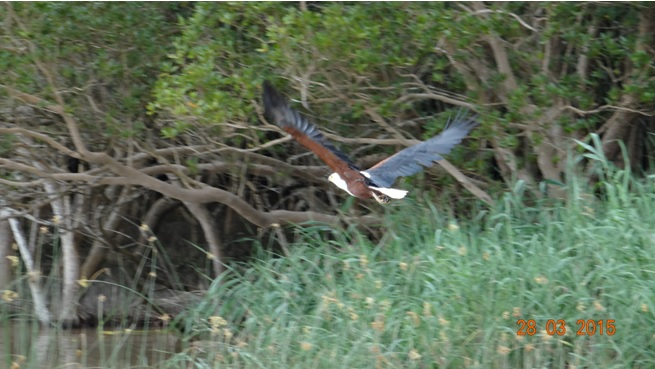 Durban Safaris and Tours; African Fish eagle