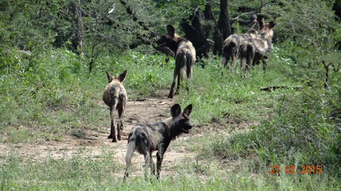 Durban Safaris and Tours; African wild dogs