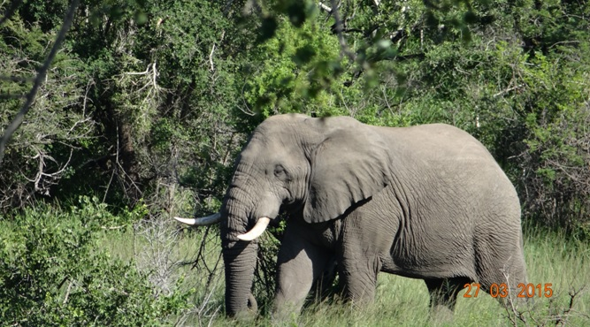 Durban Safaris and Tours; Elephant