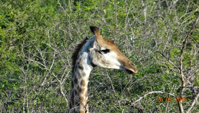 Durban Safaris and Tours; Giraffe