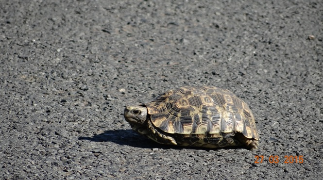 Durban Safaris and Tours; Leopard Tortoise