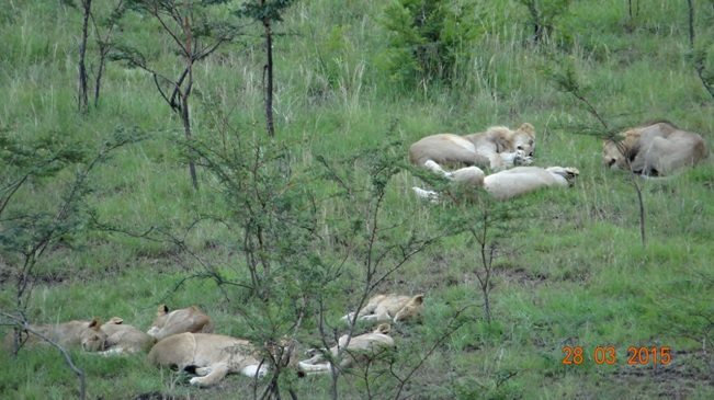 Durban Safaris and Tours; Lions sleeping