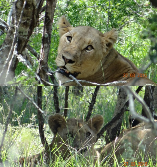 Durban Safaris and Tours; Lions