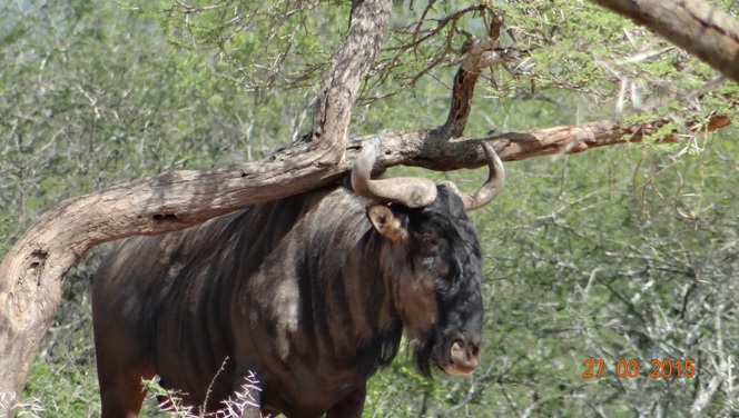 Durban Safaris and Tours; Wildebeest