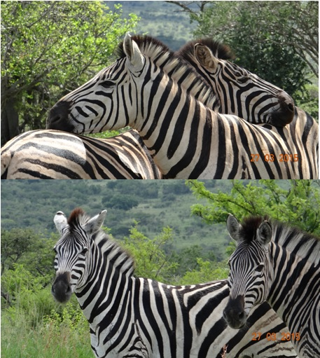 Durban Safaris and Tours; Zebra pose