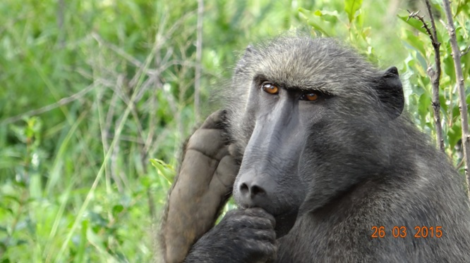 Durban Safaris and Tours; foot and mouth Baboon!