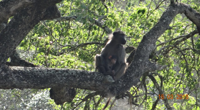 Durban day safari tour; Baboon mother and baby