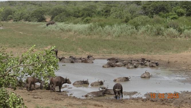 Durban day safari tour; Buffalo and Elephants
