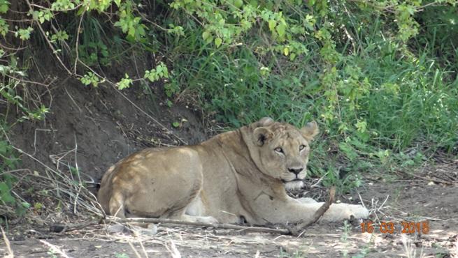 Durban day safari tour; Lioness alert