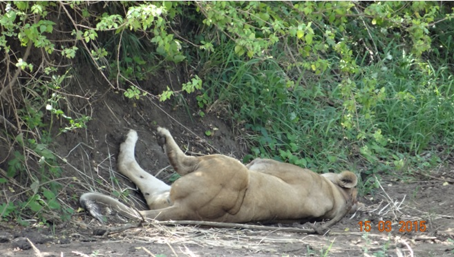 Durban day safari tour; Lioness flat on her back