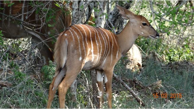 Durban day safari tour; Nyala