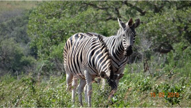 Durban day safari tour; Zebra