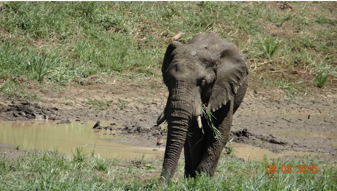 Durban day tour; Elephant in Hluhluwe river