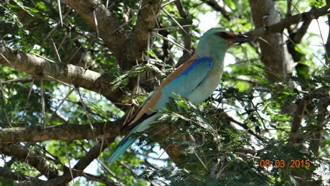 Durban day tour; European Roller