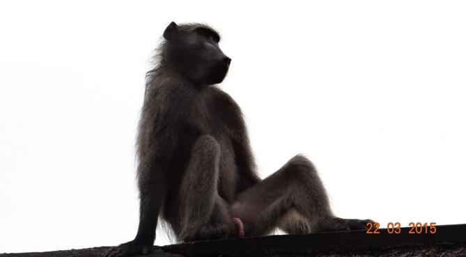 KwaZulu Natal 3 day safari tour, Baboon taking it easy