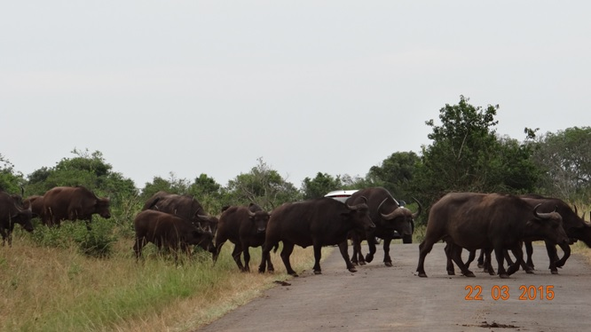 KwaZulu Natal 3 day safari tour, Buffalo crossing