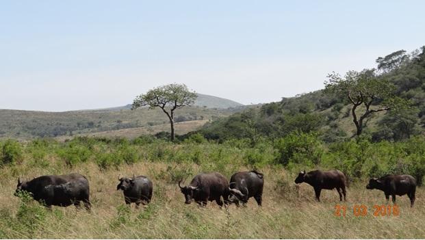 KwaZulu Natal 3 day safari tour, Buffalo