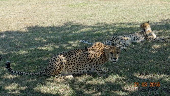 KwaZulu Natal 3 day safari tour, Cheetah