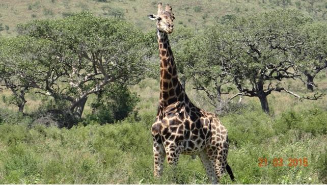 KwaZulu Natal 3 day safari tour, Giraffe