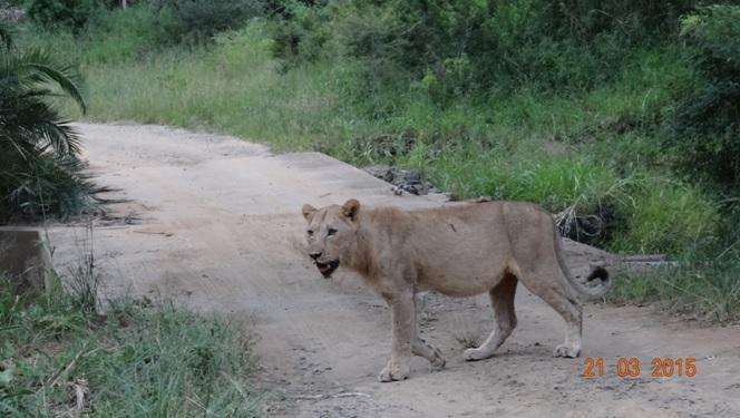 KwaZulu Natal 3 day safari tour, Sub adult Lion
