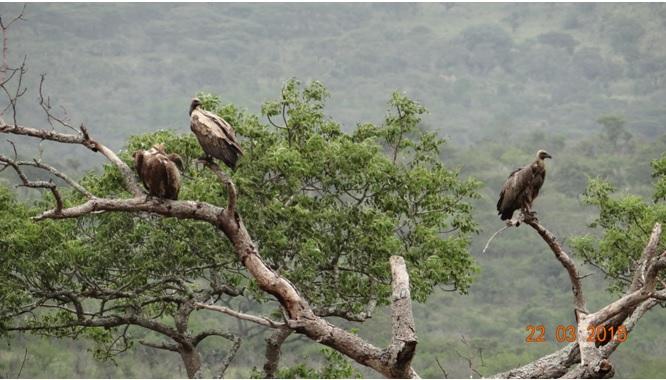 KwaZulu Natal 3 day safari tour, Vultures