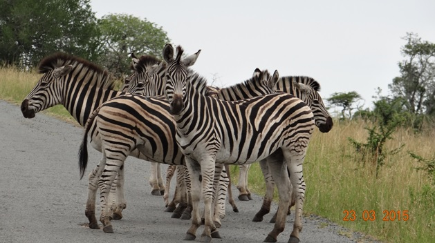 KwaZulu Natal 3 day safari tour, Zebras on road