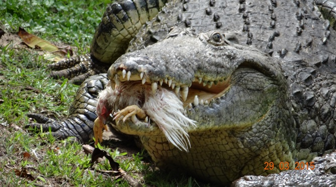 St Lucia day tour; Crocodile with chicken in its mouth