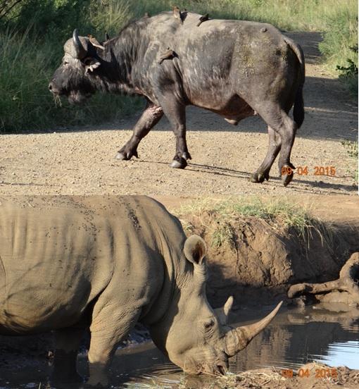 3 day safari from Durban; Buffalo crosses road and Rhino Drinks