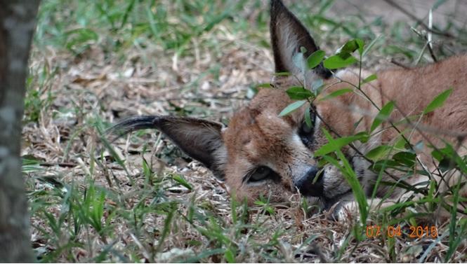 3 day safari from Durban; Caracal