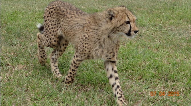 3 day safari from Durban; Cheetah cub