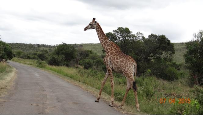 3 day safari from Durban; Giraffe crossing road
