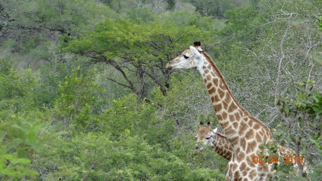 3 day safari from Durban; Giraffe