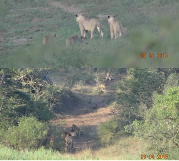 3 day safari from Durban; Lions in Hluhluwe