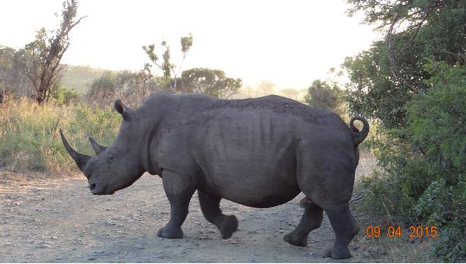 3 day safari from Durban; Rhino crossing road