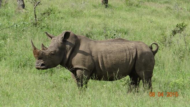 3 day safari from Durban; Rhino male