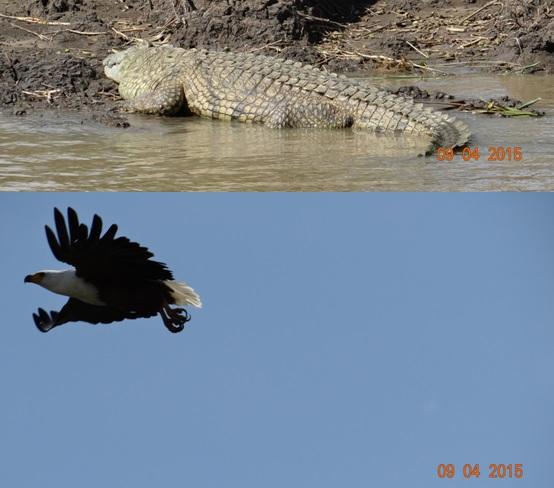 3 day safari from Durban; St Lucia; Fish eagle in flight and a Crocodile